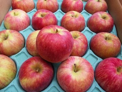 訳あり!JAS有機りんご農家さんのりんご「つがる」【青森産/有機認証なし】小箱(1段積み)