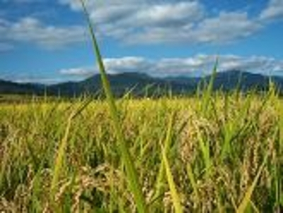 合鴨農法の無農薬のお米「さゆり米」【玄米5キロ/福島産】