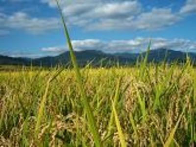 合鴨農法の無農薬のお米「さゆり米」【白米5キロ/福島産】