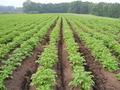 北海道から産地直送!自然栽培野菜セット【ジャガイモ20キロ/中部まで送料込み】