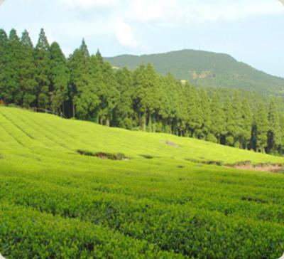 自然栽培茶葉使用紅茶「紅(くれない)」【60g/熊本産】
