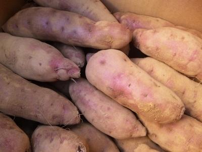 農薬不使用30年以上 とみちゃんのさつまいも「紅東」【神奈川県川崎市/10kg】