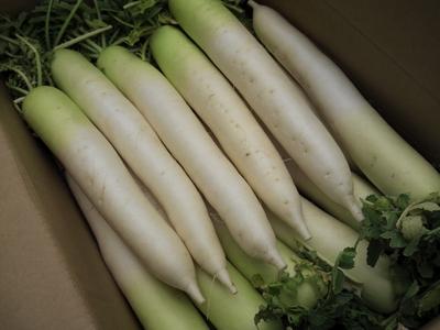 自然栽培の雪肌美人大根10キロ箱【千葉県成田産/Mサイズ】