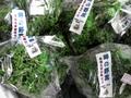 自然栽培パセリ【約30グラム束/千葉産】
