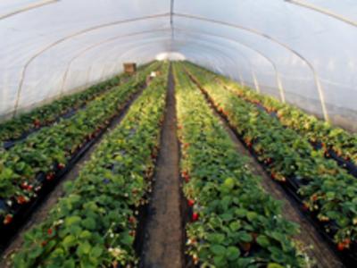 有機認証レベルのいちご1ケース【特別栽培/節減対象農薬・化学肥料不使用/茨城産/300g×4P】