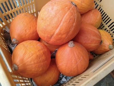 生で食べられるカボチャ コリンキー 自然栽培千葉産1kg