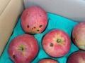 訳あり!JAS有機りんご農家さんのりんご「紅玉」【青森産/有機認証なし】小箱(2段積み)