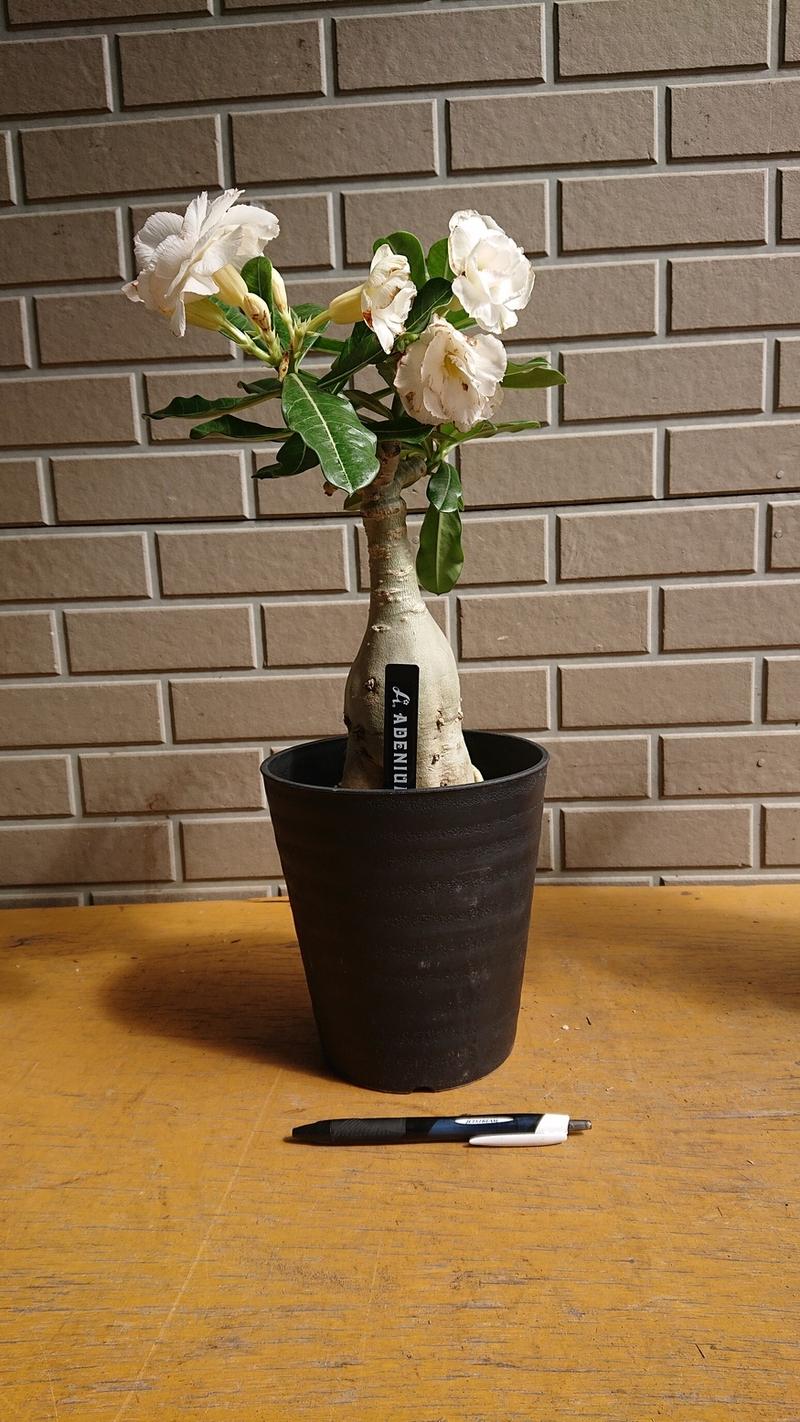 砂漠のバラと呼ばれる多肉植物「アデニウム オベスム」