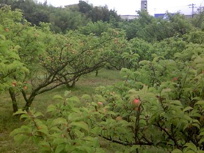 自然農法産梅(梅干用) 1kg 【神奈川県川崎市横山農園/予約販売】