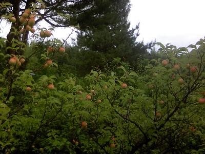自然農法産梅(梅干用) 5kg 【神奈川県川崎市横山農園/予約販売】