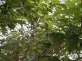 自然農法産小梅   (梅干用) 1kg [川崎横山農園産]