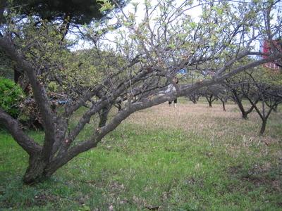 自然農法30年以上の青梅の恵み! 横山農園の梅っこちゃん 350ml