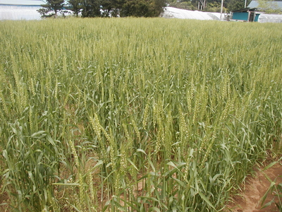 天日干し、無添加の自然農法産梅干 130g