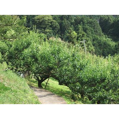 奈良吉野産 南高梅 【JAS有機栽培/4キロ/送料込み】