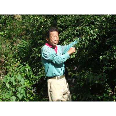 JAS有機栽培 奈良吉野産 もみじそ 500グラム