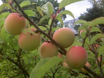 自然農法産梅(梅干用) 2kg 【神奈川県川崎市横山農園/予約販売】