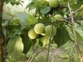 自然農法産青梅(梅酒・梅シロップ用) 500g 【神奈川県川崎市横山農園/予約販売】