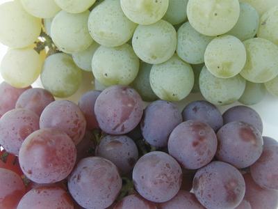 香り抜群!農薬・化学肥料不使用のぶどう「ナイアガラ」2kg【山形産】