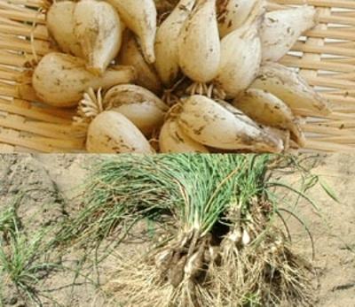 茨城産らっきょう【農薬・化学肥料不使用/5キロ/産地直送・送料込み】