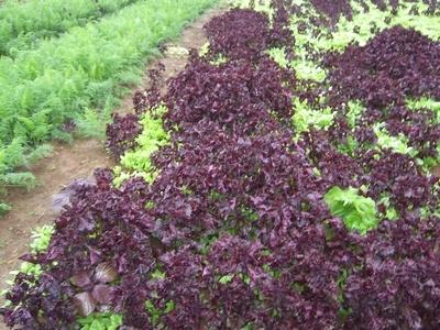 農薬化学肥料不使用の赤じそ【葉っぱのみ/300gP/奈良・和歌山・滋賀産】
