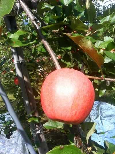 ギフトに最適!JAS有機りんご「つがる」【青森産】小箱(1段積み)