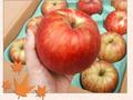 ギフトに最適!JAS有機りんご「弘前ふじ」【青森産】小箱(1段積み)