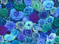 【雑貨/USAコットン/SARARA JAPAN】HH-111/Blue Roses Garden 50cm×55cm