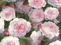 【雑貨/USAコットン/国産/ジェットプリント】HHH-66/薔薇薔薇 50cm×55cm